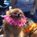 Chupa in a pink lei and shades
